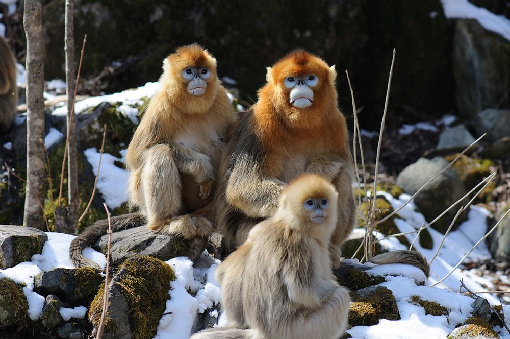 秦岭是中国金丝猴分布的最北限.